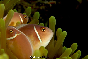 United family of anemonefishes by Anna Bilyk 